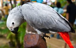African Grey Parrots Wonderful Talking Birds