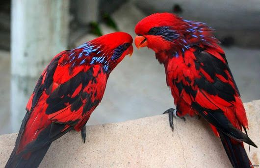 Blue-necked Lory