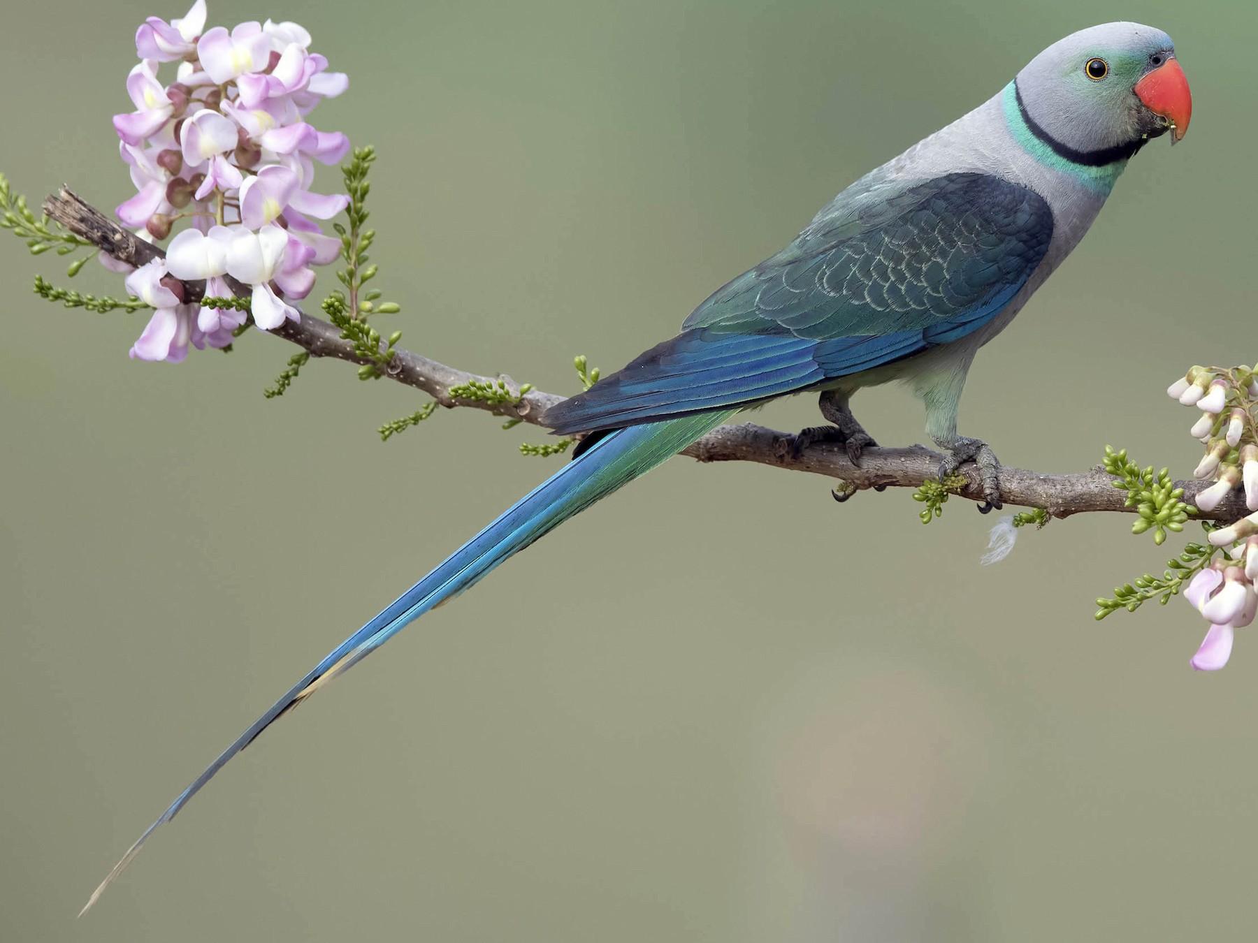 Blue-winged parakeet