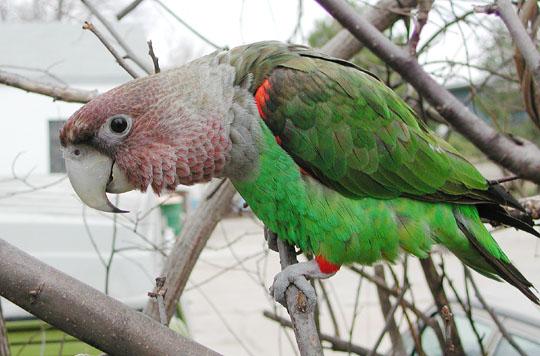 African Cap Parrot