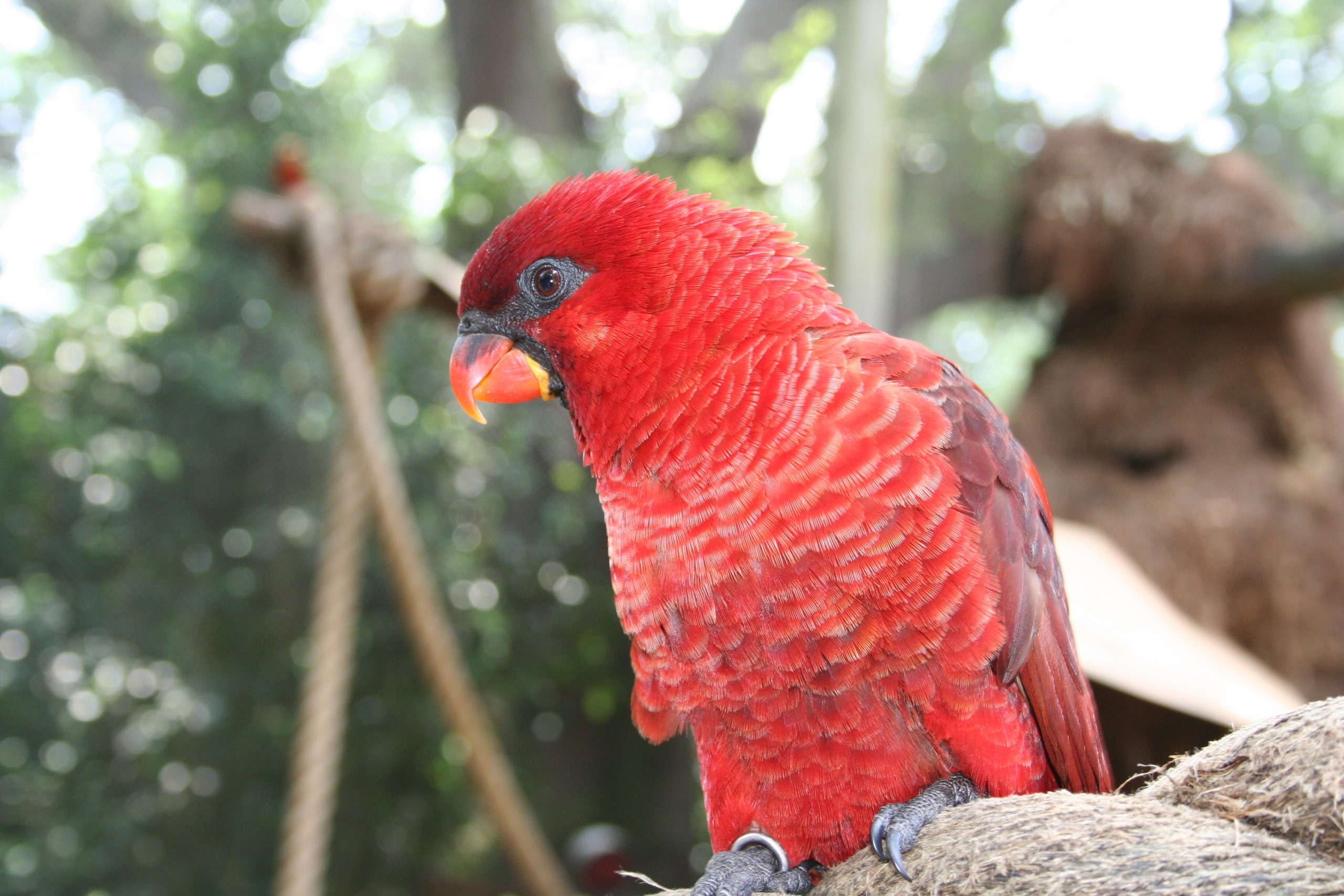 Cardinal Lory