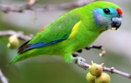 Double-eyed Fig Parrot
