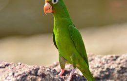 Golden-winged Parakeet