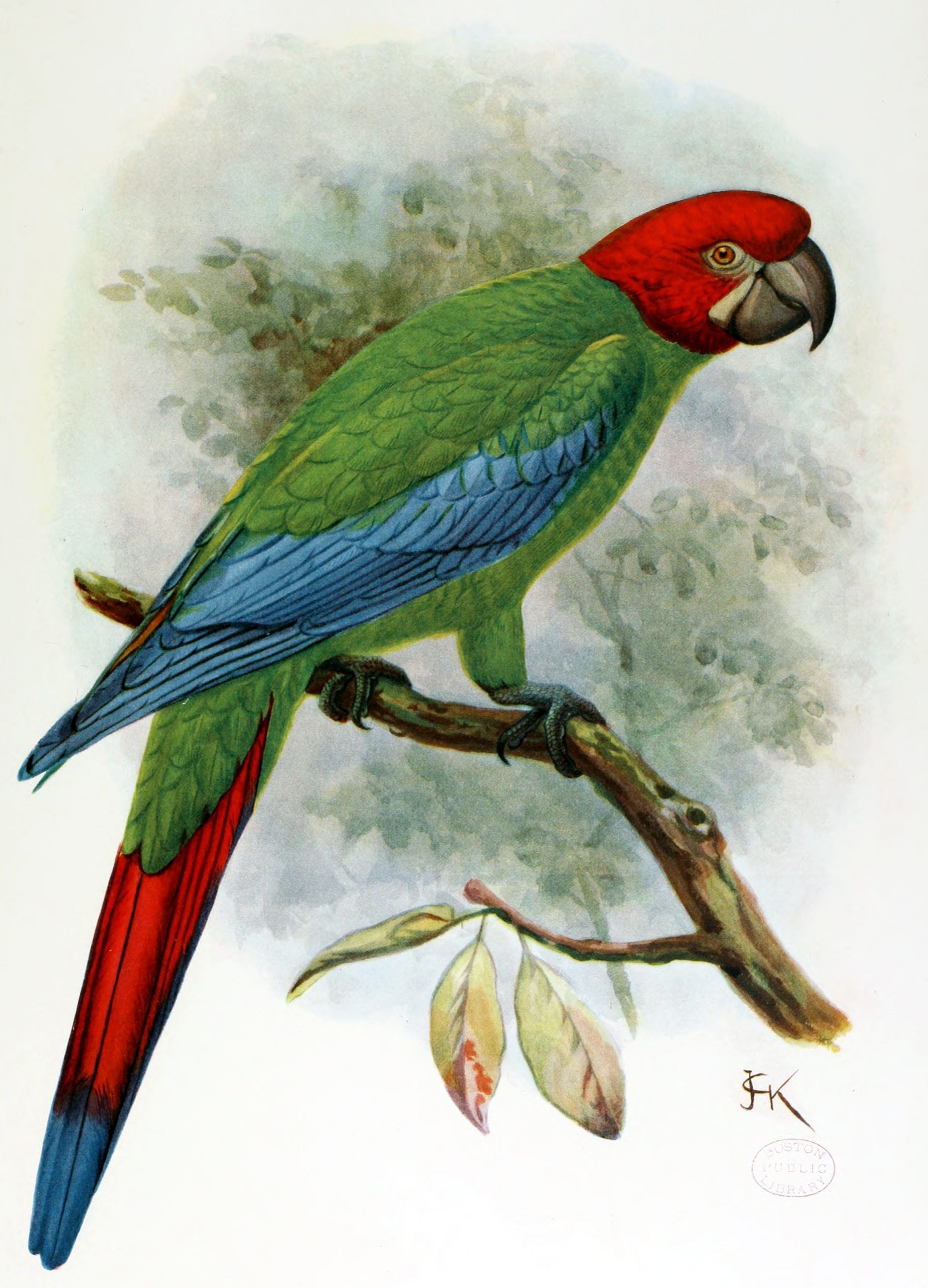 Jamaican green-and-yellow macaw