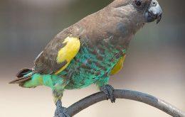 African Meyer's Parrot