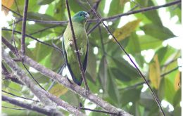 Mindanao Racquet-tail