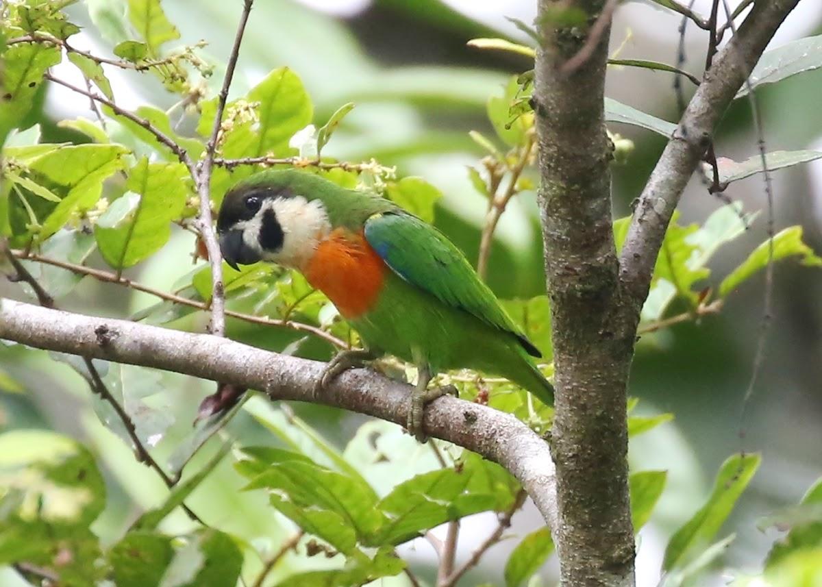 Orange Breasted Fig Parrot