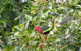 Papuan King Parrot