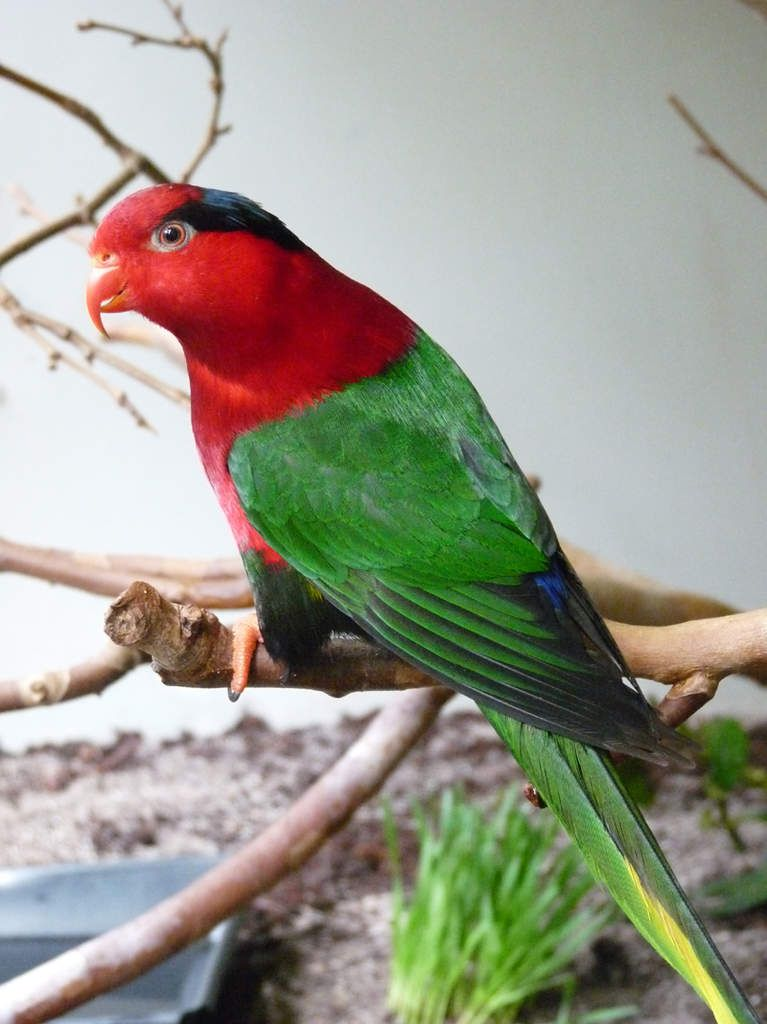 Papuan Lorikeet