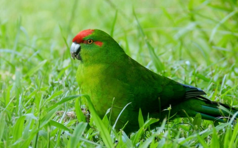 Red-fronted Parakeet