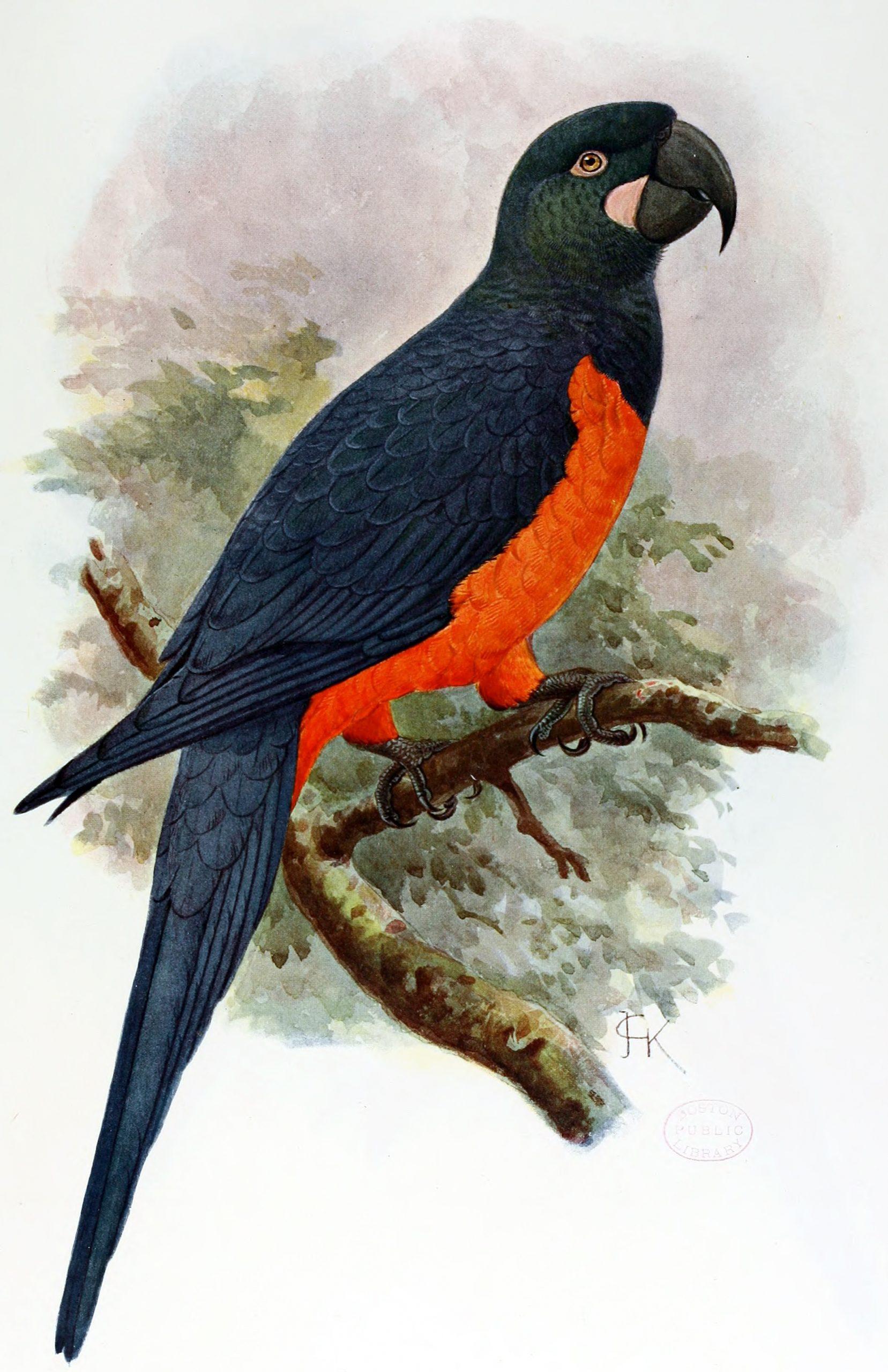 Saint Croix Macaw
