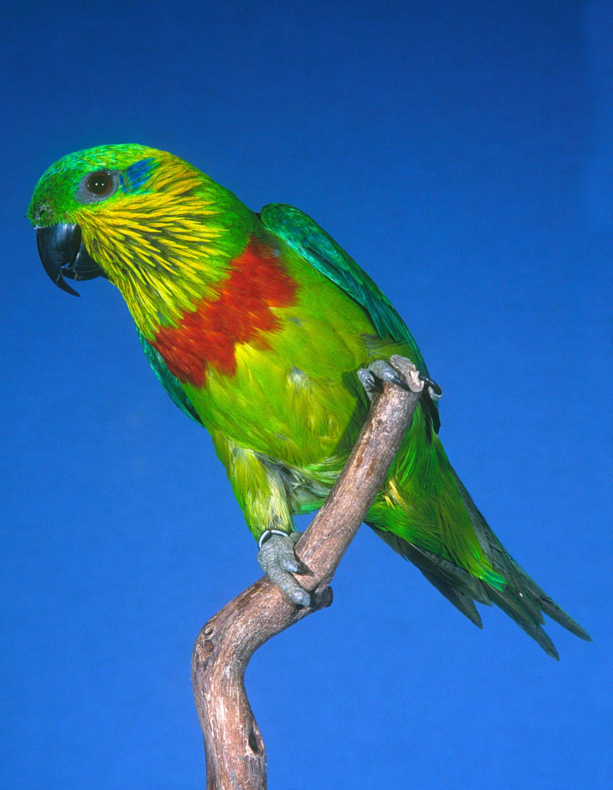 Salvadori's Fig Parrot