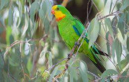 Superb Parrot باراباند