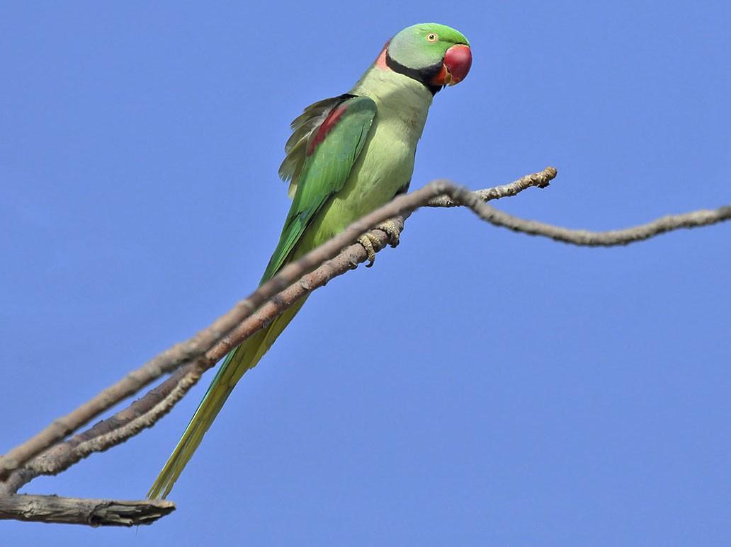 alexander-parrot