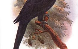 Extinct Violet Macaw