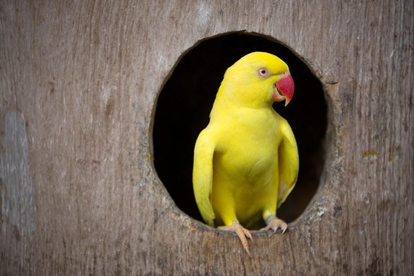 Ring Necked Parakeet Yellow