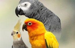 نحوه نگهداری شناخت طوطی سانان بیماری ها حالات رفتارشناسی پرورش