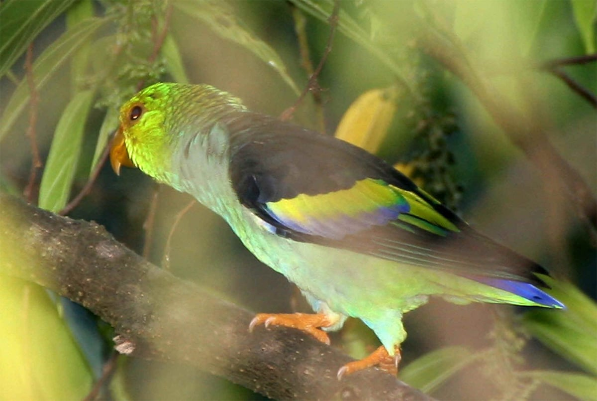 LILAC-TAILED PARROTLET