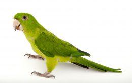 طوطی کانور سبز