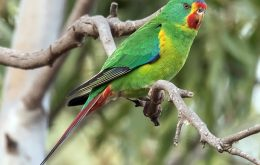 HBW Alive Swift Parrot
