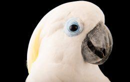 کاکاتو چشم آبی