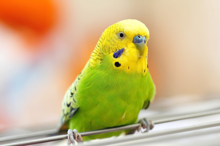 مرغ عشق بیماری کمخونی در طوطیها